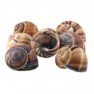 Extra Large Snail Shells - 2 Dozen